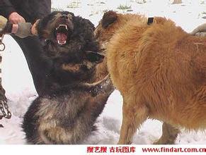 鬼獒咬死藏獒_两头藏獒咬死狮子视频 藏獒狗和真狼打架图 鬼獒咬死藏獒打架 ...