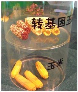 转基因玉米的惊天内幕,如何分辨转基因玉米图
