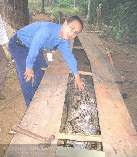 大蛇吃人事件_工地挖出16米大蛇图,初三女孩被大蛇吃掉惊悚图