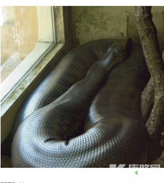 巨型蟒蛇吞人后被解剖-人图片,美女被巨蟒活吞照片