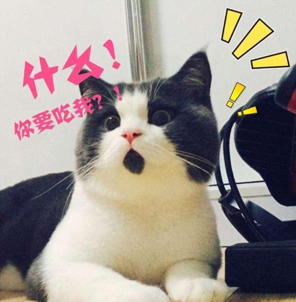 """""""惊讶猫""""网上爆红 惊讶猫动态图 惊讶猫是什么品种"""
