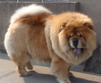 狗价格排名_最贵的十大名犬图片 世界漂亮排名前十名犬 中国十大名犬排行榜 ...