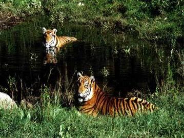 华南虎还有多少只,世界上华南虎的数量