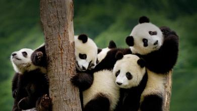 后来同期的动物相继灭绝,大熊猫却孑遗至今,并保持原有的古老特征