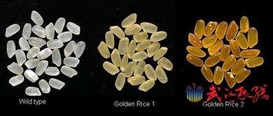 转基因黄金大米事件_哪些大米是非转基因_转基因黄金大米事件_转