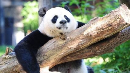 大熊猫为什么不再是濒危动物