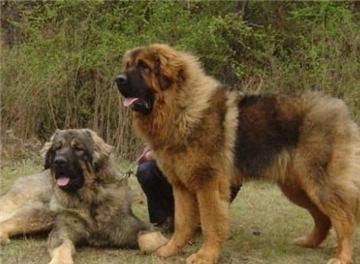十大禁养猛犬排行榜,狗的品种大全图片和名字(2)