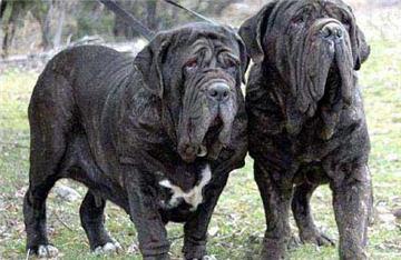 世界十大最凶悍猛犬藏獒居首