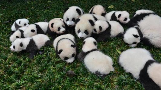 """绿色地毯铺成的舞台上,23只熊猫宝宝集体亮相,活泼的""""滚滚""""们四处爬,其中一只不慎摔下舞台,饲养员赶忙上前抱起……生动的一幕被摄影师定格。 1月12日,这张照片红透网络,并配以文字:""""熊猫宝宝摔进'世界最佳图片'。""""原来,岁末年初之际,全球各大媒体纷纷盘点过去一年,这张照片相继入选路透社2016年度图片、《时代周刊》2016年度动物图片、《大西洋月刊》2016年度新闻图片。  这张图片的拍摄者是华西都市报-"""