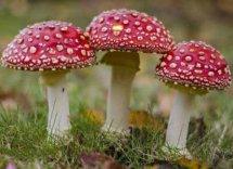 如何识别毒蘑菇和食用蘑菇,怎样辨别毒蘑菇,毒蘑菇图片大全