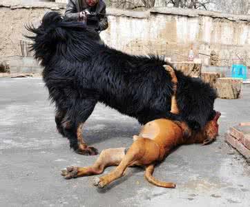 藏獒vs狮子_藏獒和比特犬,那个更厉害?