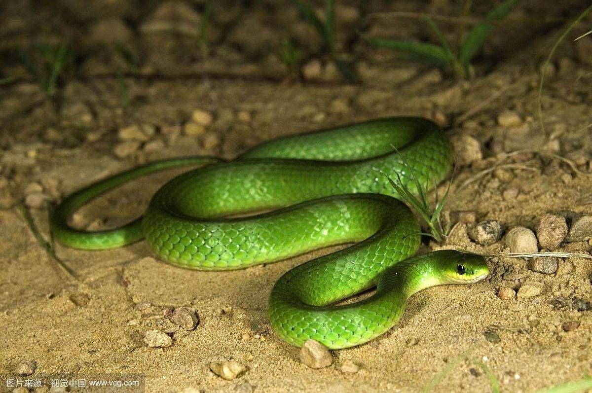 看家蛇长啥样子图片会驱赶毒蛇吗 看家蛇会咬人吗为什么不能打死