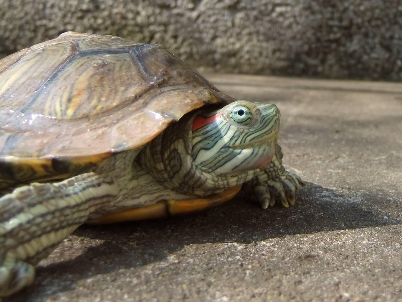巴西龟的寿命最长是多少年 怎么养巴西龟才能让它寿命变长活久点