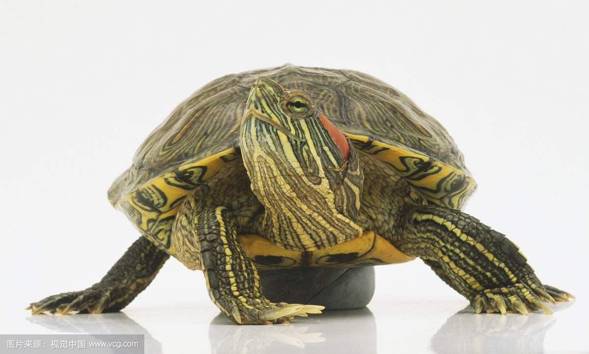 巴正西龟的寿命最长是好积年 怎么养巴正西龟才干让它寿命变细活久点