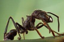 被子弹蚁咬了真跟中弹一样疼吗 子弹蚁最怕什么 子弹蚁成人礼过程