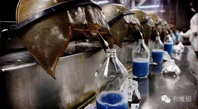 中华鲎为什么又叫夫妻鱼 中华鲎的蓝色血液怎么食用凭什么那么贵