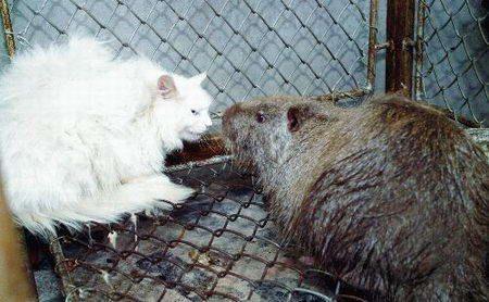 揭露黑龙江30斤大老鼠真相实图,中国最大的老鼠有多大