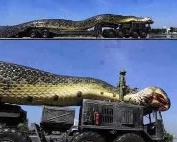 埃及红海巨蛇被抓现场实图,军队动用坦克大战蟒蛇死伤