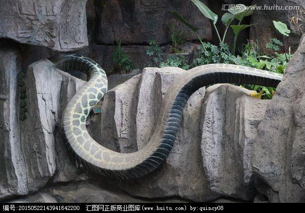 神秘巨蛇纳布nabau高清照片太恐怖了吧 真相意料之外但情理之中