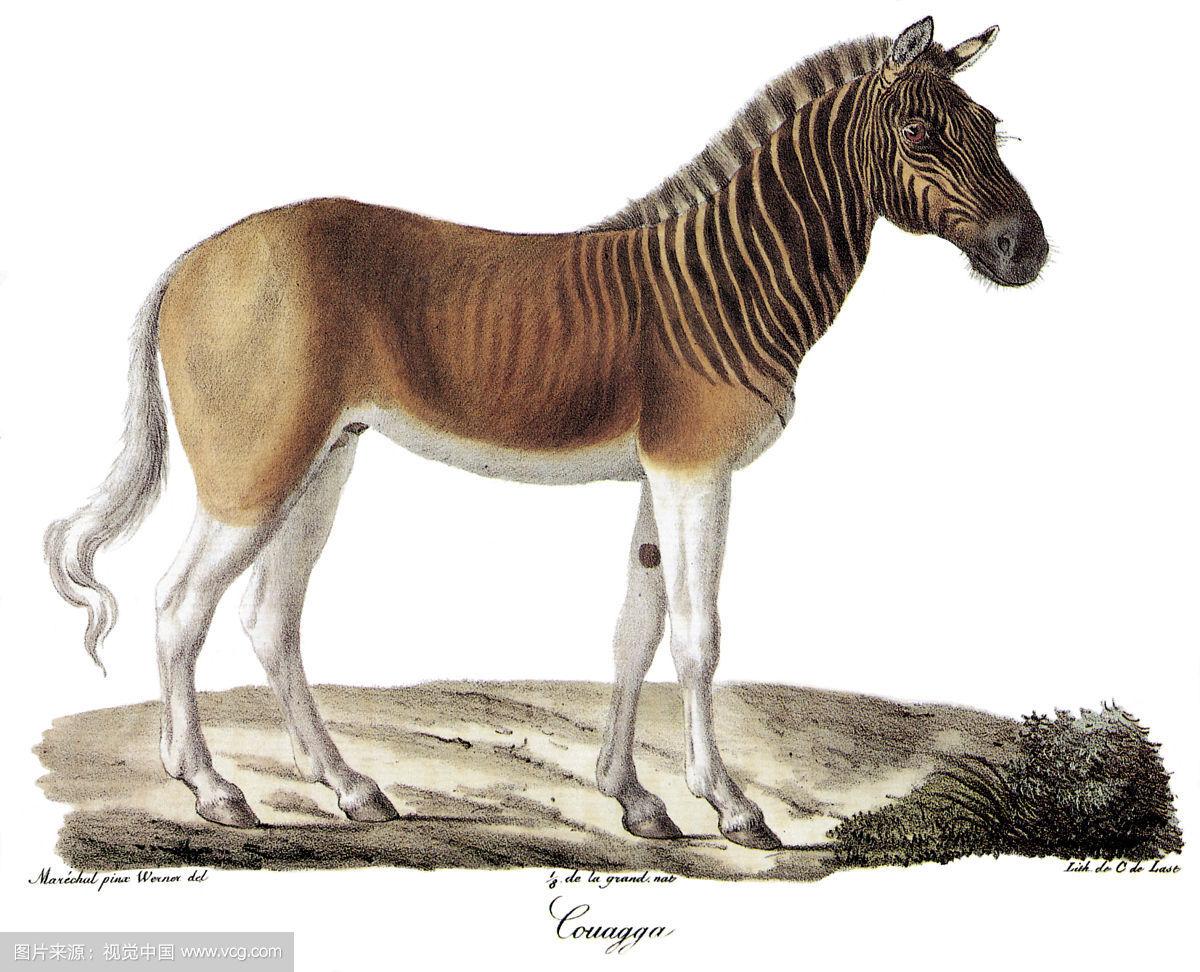 娱乐资讯     斑驴和我们现在所看到的斑马有着很明显的外观差异,它们