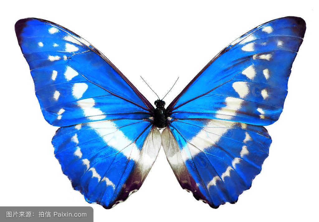 全世界最美的蝴蝶光明女神蝶图片大全 现状还剩几只多少钱能买到