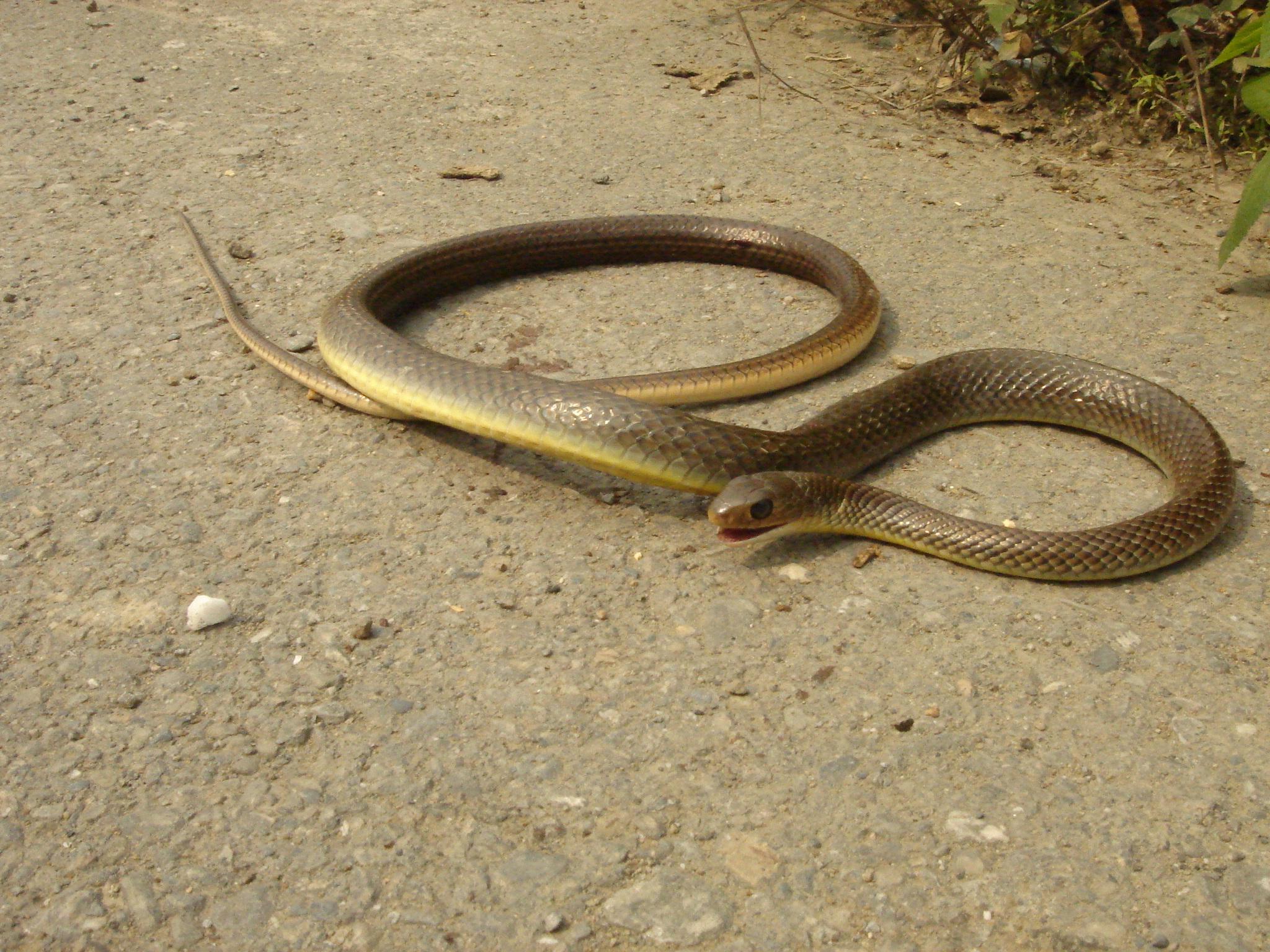 世界上最胆小灰鼠蛇温顺无毒,但为什么和剧毒的金环蛇眼镜蛇齐名