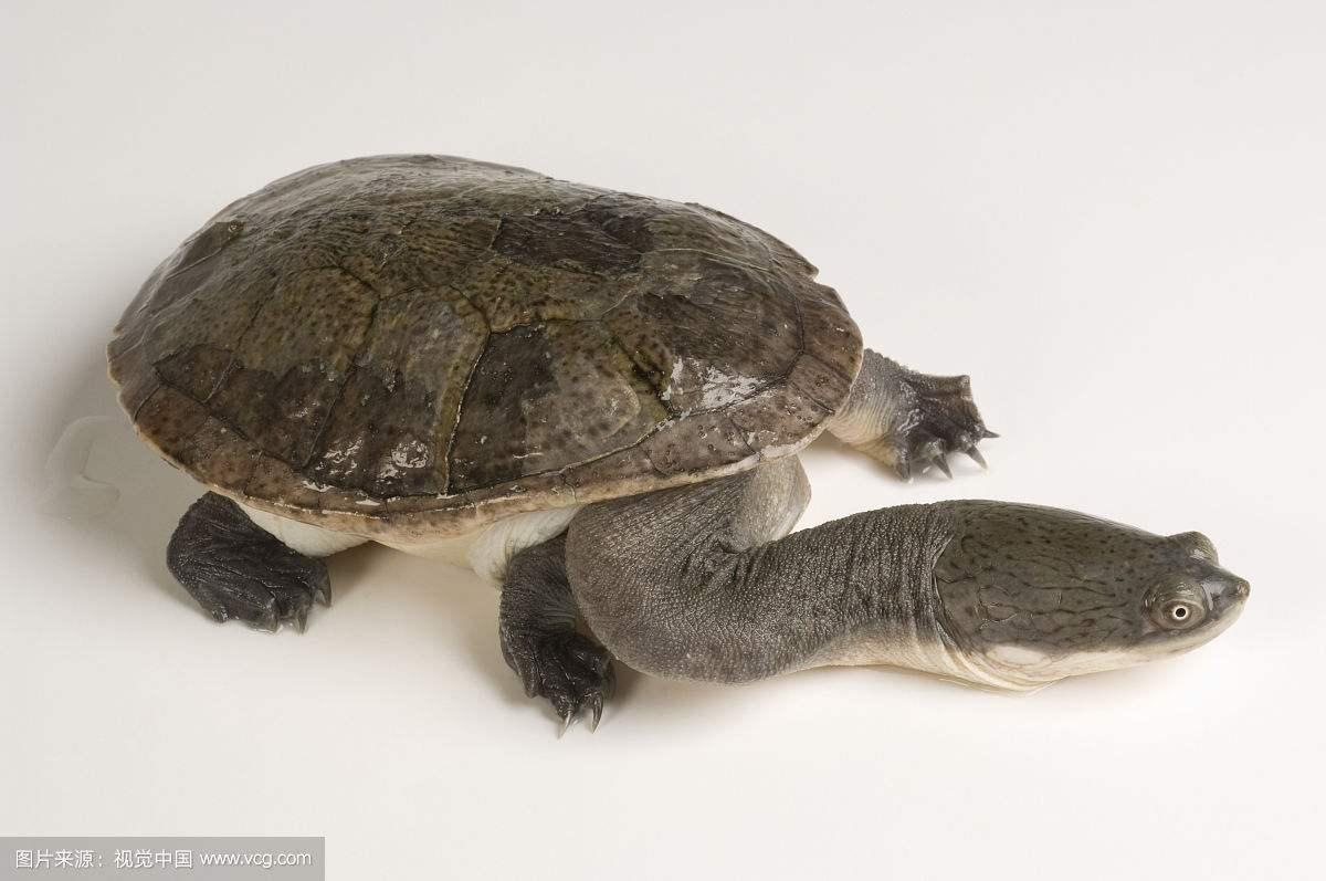 为什么说巨蛇颈龟脖子让男人羡慕女人爱慕,为什么没人养巨蛇颈龟