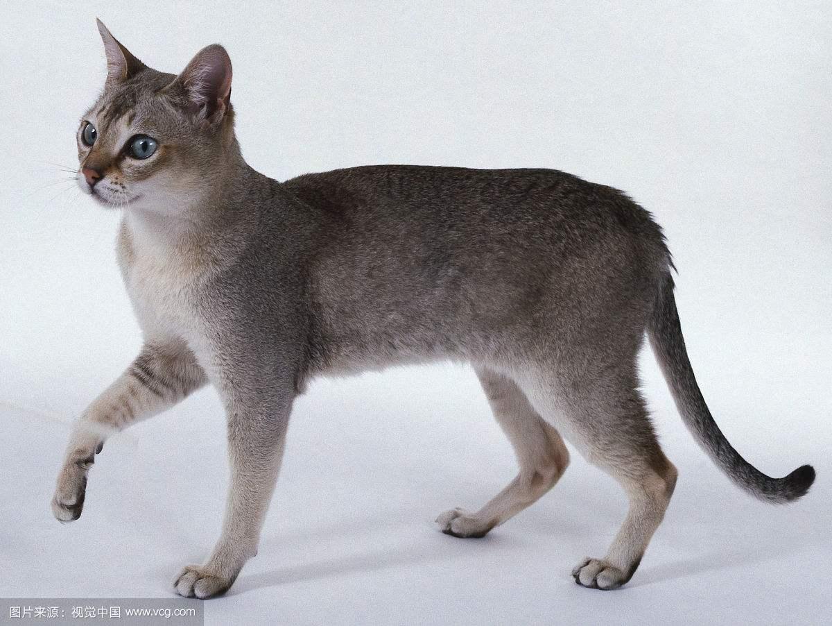 """相信将猫狗当宠物的人不在少数,但任何事都会有其极致的一面,而当年这个世界上最小的猫---皮堡斯被发现的时候,各国媒体的都震惊了,但到最后发现那是一篇造假报道,那么世界上是否真的有皮堡斯小猫呢?它们灭绝了吗?关于它们最真实的图片,快来本文里找。 如果你在网络上搜索""""皮堡斯小猫""""的照片,那么你看到的一定是如下几种状态的: 趴在一堆草莓中间的 坐在一只调羹上的 卧在一个人掌心中睡觉的 瘫在一个钢琴琴键上发呆的 藏在一个随身听和一盘磁带中间的(一张长图一起放出来)  当时这只据说只有1/3"""