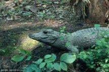 世界上体型最小的鳄鱼非洲侏儒鳄,性格再温顺也丝毫没get到可爱!