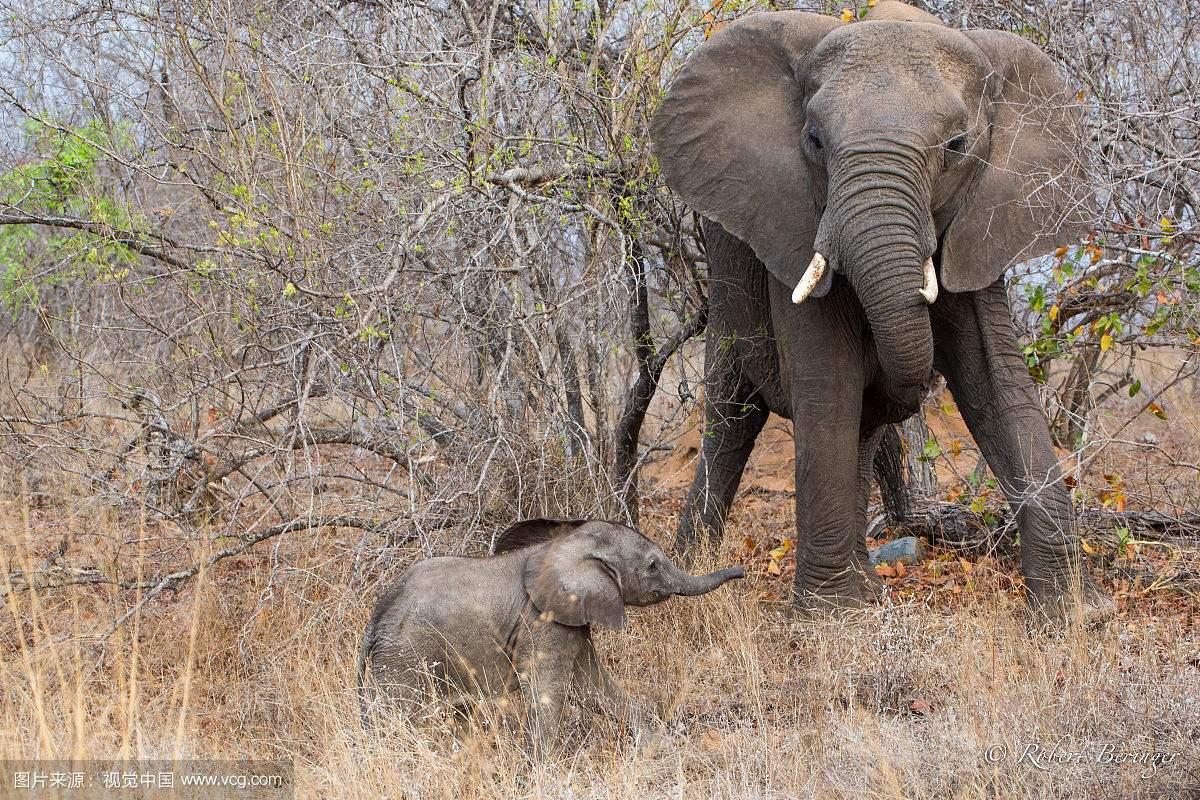 很多超爱小动物的人士,看到小动物在小的时候那种萌态都忍不住把它们抱在怀里亲亲抱抱举高高,而最常见的莫过于宠物猫宠物狗了,但其实还有很多的动物别看长大后五大三粗的,但小时候还是个宝宝时候的它们,也是萌炸天的状态!下面随着小编一起来了解这些地球上最可爱的动物宝宝! 大熊猫宝宝  大熊猫的可爱劲儿毋庸置疑了吧?别看胖达们长大后依旧蠢萌,但小时候的它们才是萌到开了挂,刚出生的它们也就相当于两三个鸡蛋那么重吧!而在6-8周时间里它们甚至连眼睛都睁不开。约3个月后,它们才开始有能力走来走去,但这时候的它们可能是一生中