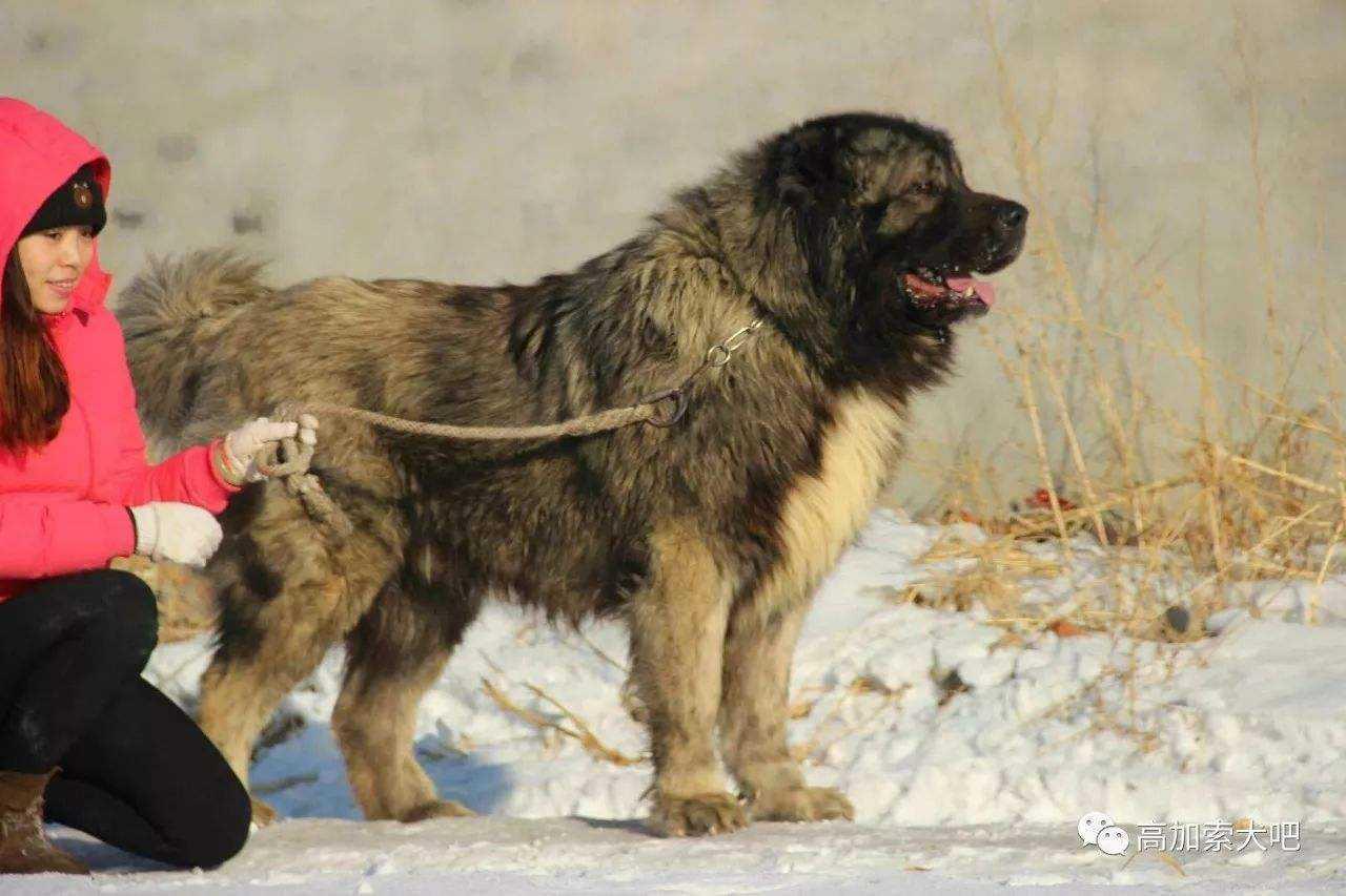 世界上十大最凶的狗最新排行榜,光是最后一名看到照片就不敢惹了