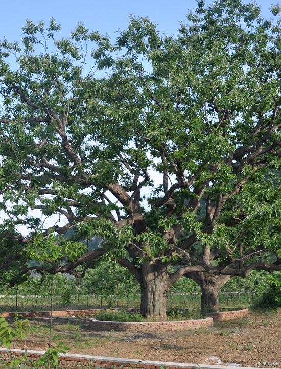 世界最粗的树图片_世界上最粗的树---百骑大栗树 树干周长55米浑身都是可爱的优点 ...