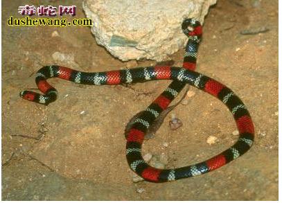 致命的美丽——珊蝴蛇 南部珊瑚蛇 (图18)