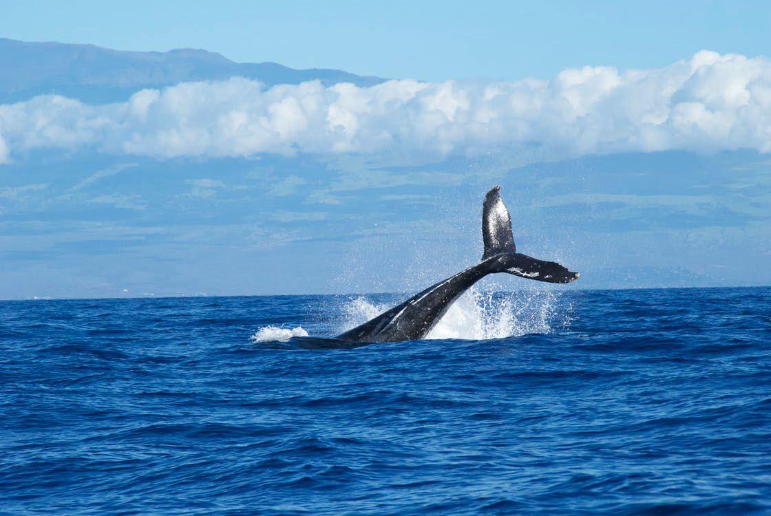 有关于科学家的故事_世界上最孤独的鲸鱼 52赫兹鲸现在过得好吗?它这么特殊咋造成的 ...