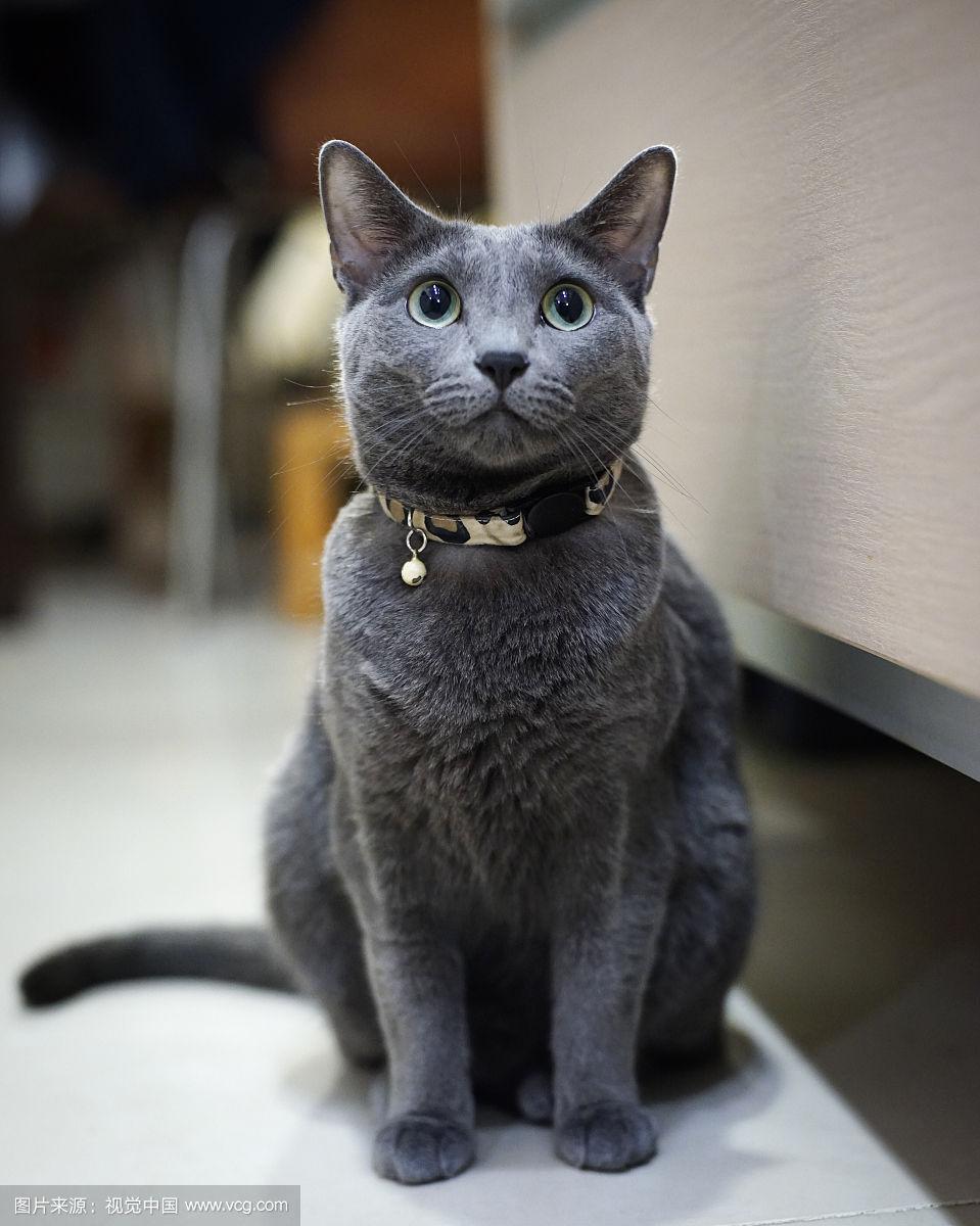 世界十大最贵的猫澳门威尼斯人在线娱乐排名 每一只我都买不起就穷到自己很生气啊
