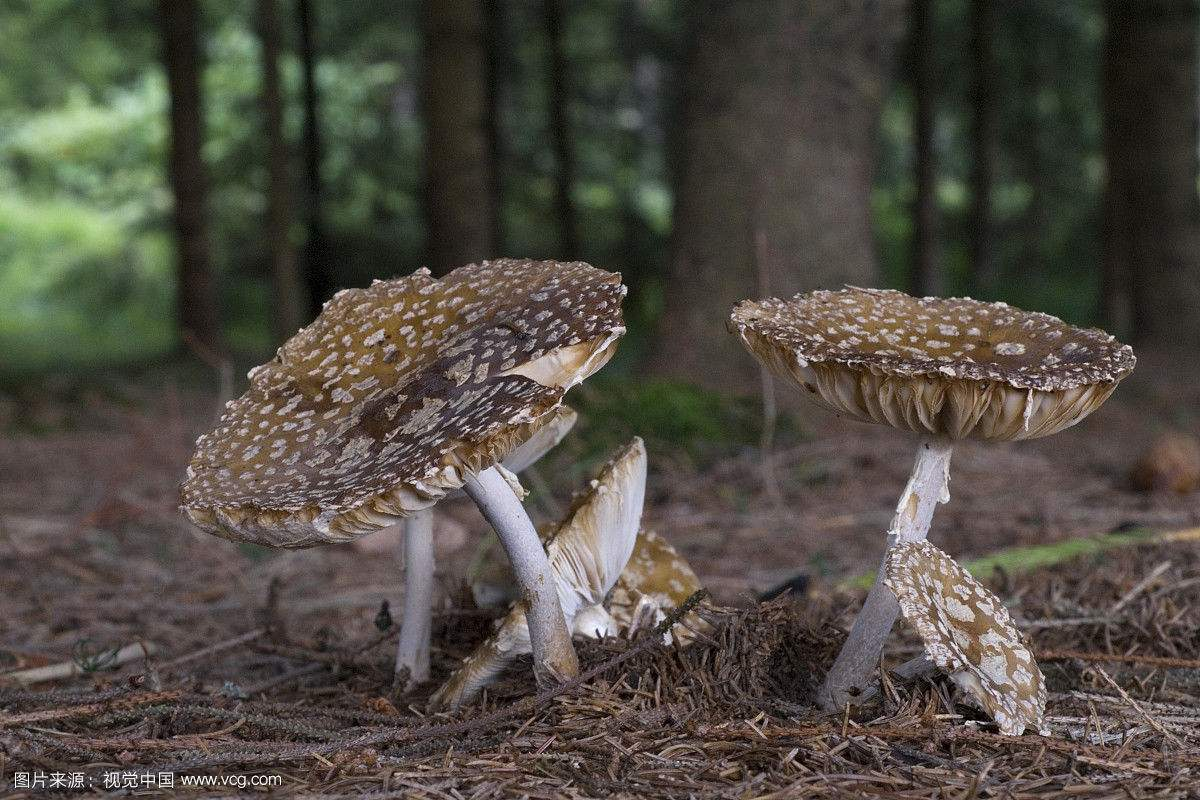 """世界上最毒的蘑菇---鹅膏菌 蘑菇中的""""毒王""""有能食用的品种吗?"""
