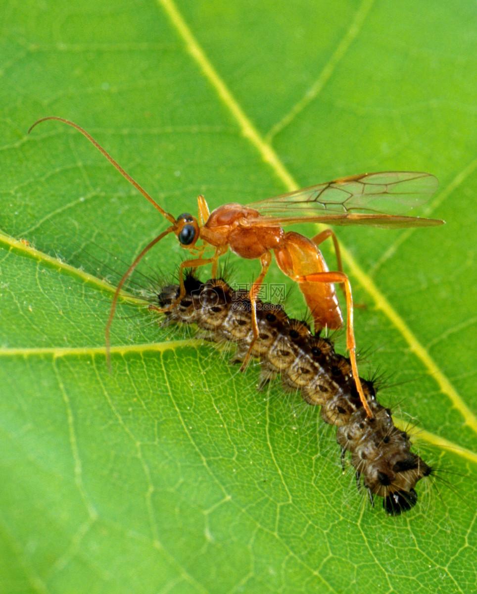 """僵尸毛虫原来是这样被""""控制""""寄生的 它们一辈子会被寄生2次吗?"""