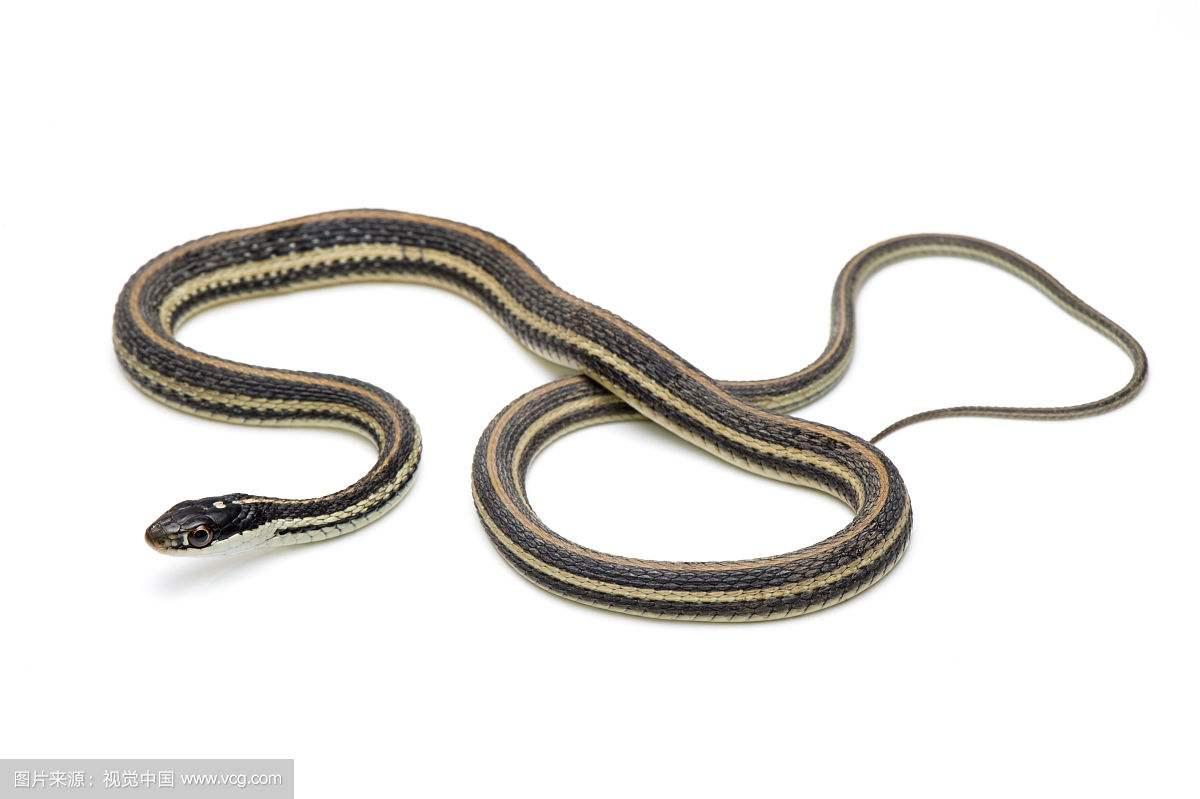 世界上最常见的没毒的蛇有几种 有些蛇外表看着香艳都是迷惑人滴
