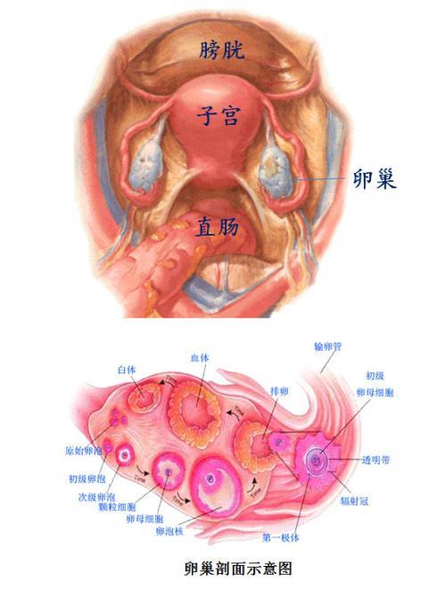 子宫的结构图,想看女人子宫长什么样子宫结构图片让你