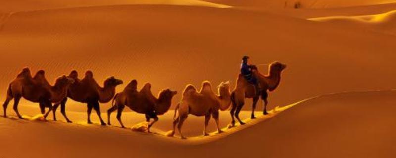 沙漠骆驼原唱是谁