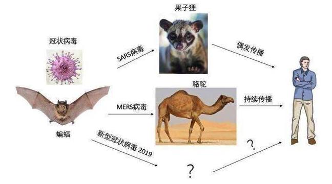 为什么蝙蝠是个病毒库?藏在蝙蝠里的病毒是什么怎么感染人类的?