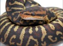 男人梦见大蟒蛇是什么征兆,已婚男人梦见大蟒蛇的解梦,暗示了什么